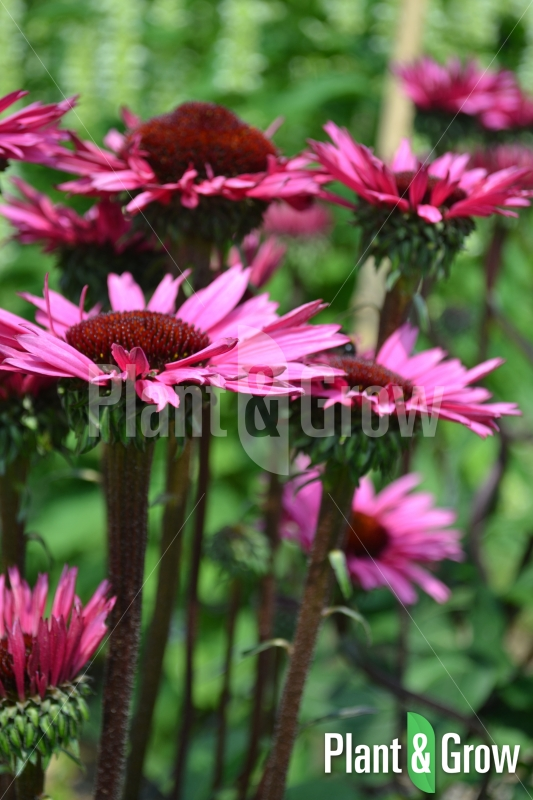 Echinacea 'Fatal Attraction' | Zonnehoed