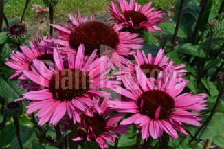 Echinacea 'Fatal Attraction'   Zonnehoed