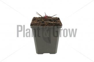 Echinacea 'Fatal Attraction'   Zonnehoed - winterbeeld