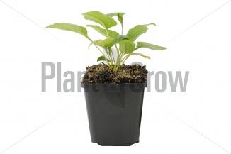 Echinacea purpurea 'Alba' | Zonnehoed (pot 9x9cm)