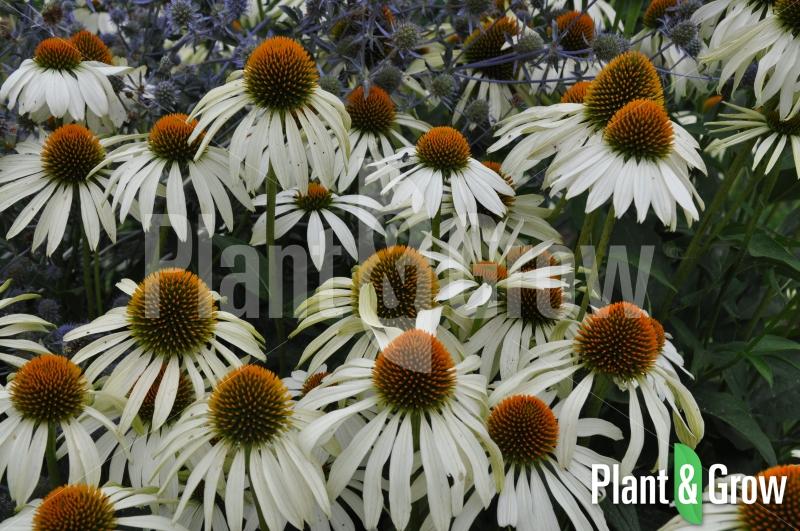 echinacea purpurea 39 alba 39 kopen plant grow. Black Bedroom Furniture Sets. Home Design Ideas