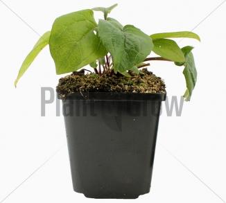 Echinacea purpurea 'Magnus' | Zonnehoed (pot 9x9cm)