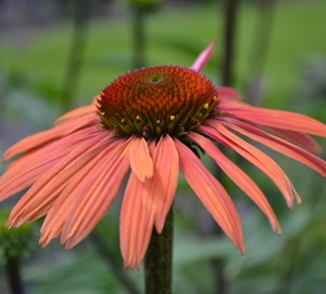 Echinacea purpurea 'Summer Cocktail' Rode zonnehoed