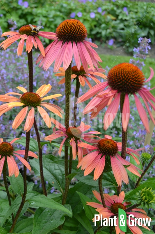 Echinacea purpurea 'Summer Cocktail' | Rode zonnehoed