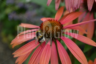 Echinacea purpurea 'Summer Cocktail'   Rode zonnehoed