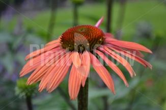 Echinacea purpurea 'Summer Cocktail' | Rode zonnehoed