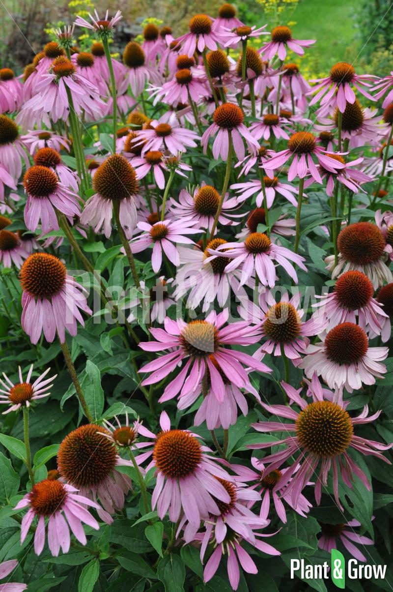 Echinacea purpurea | Zonnehoed