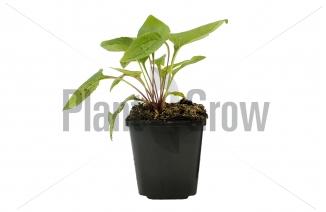 Echinacea purpurea | Zonnehoed (pot 9x9cm) - voorjaarsbeeld