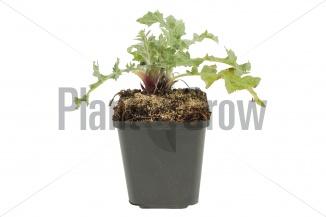 Echinops ritro | Kogeldistel (pot 9x9cm) - VOORJAAR