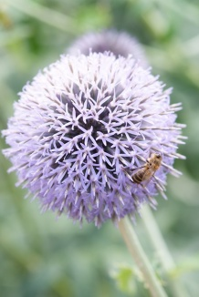 Echinops ritro 'Veitch's Blue' | Kogeldistel