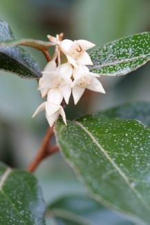 Elaeagnus ebbingei | Olijfwilg