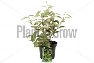 Elaeagnus ebbingei | Olijfwilg (Ø 17cm pot)