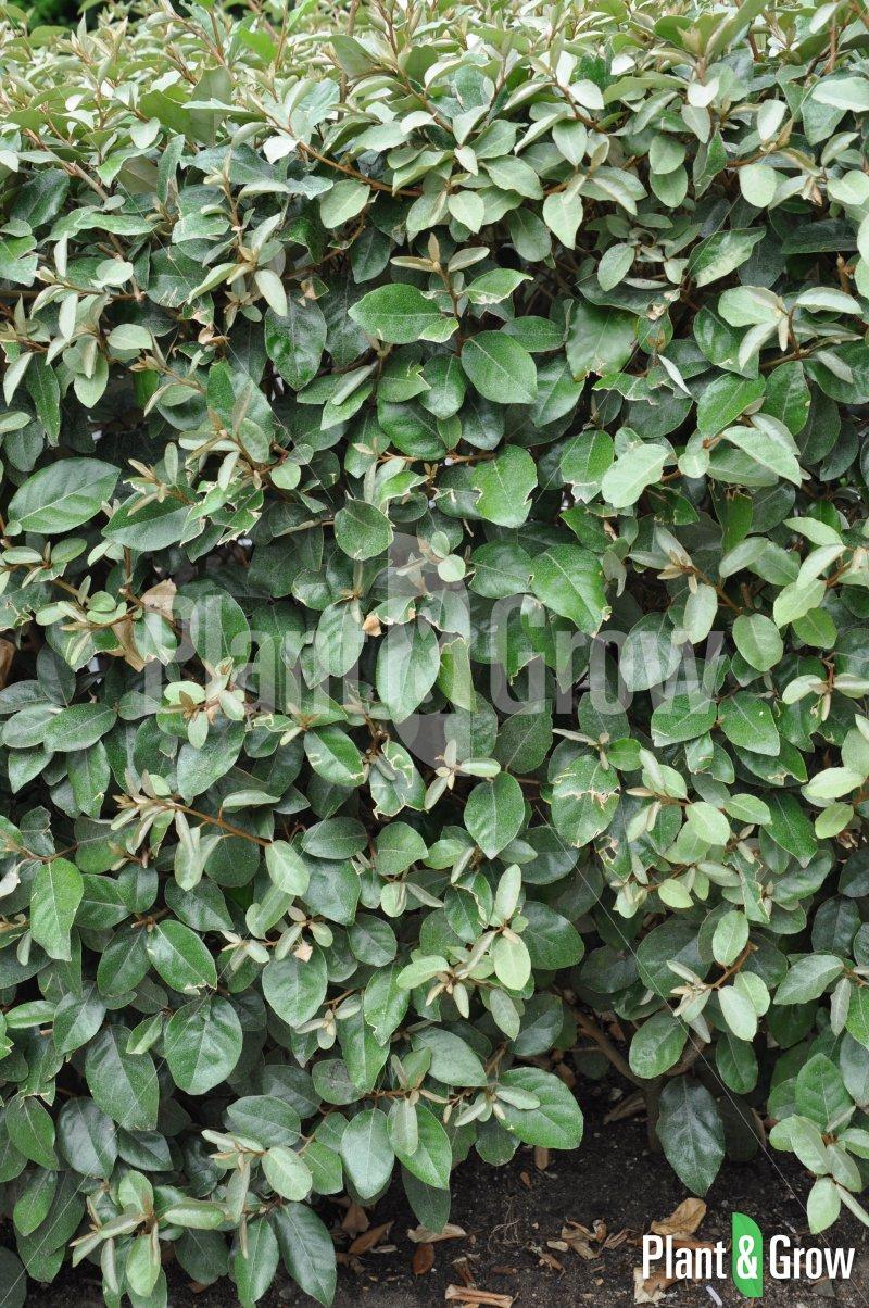 Elaeagnus ebbingei | Olijfwilg als haag