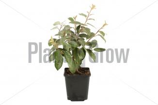 Elaeagnus ebbingei | Olijfwilg (pot 9x9cm)