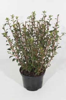 Enkianthus campanulatus | Pronkklokje (Ø 17cm pot)