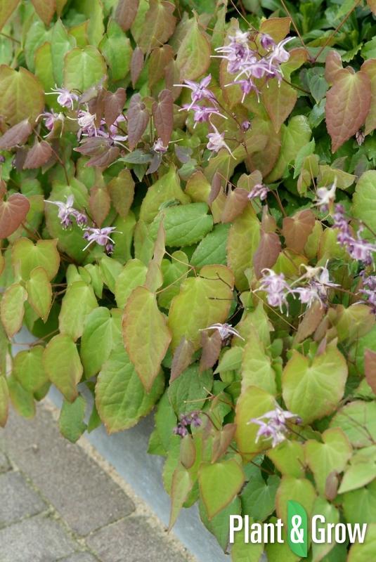 Epimedium grandiflorum 'Lilafee' | Elfenbloem