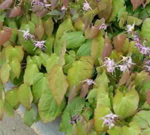 Epimedium grandiflorum 'Lilafee' Elfenbloem