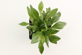 Erigeron 'Rosa Jewel' | Fijnstraal (pot 9x9cm)