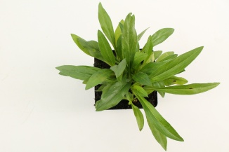 Erigeron speciosus 'Superbus' | Fijnstraal (pot 9x9cm)