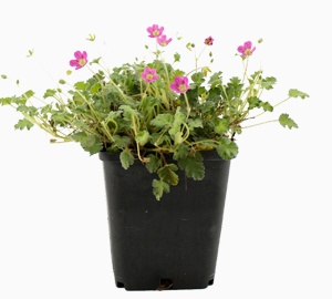 Erodium variabile 'Bishop's Form' Reigersbek