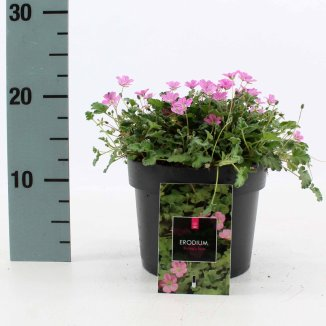 Erodium variabile 'Bishop's Form' | Reigersbek (Ø 17cm pot)
