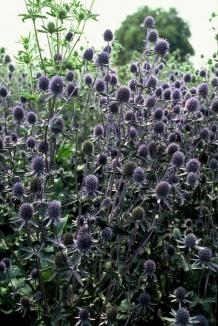 Eryngium planum 'Blauer Zwerg' | Blauwe distel