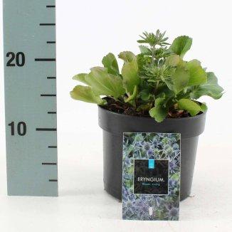 Eryngium planum 'Blauer Zwerg' | Blauwe distel (Ø 17cm pot)