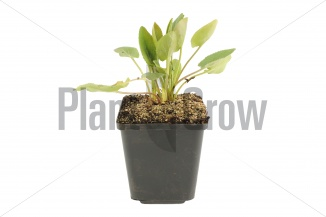 Eryngium planum | Kruisdistel (pot 9x9cm) - VOORJAAR