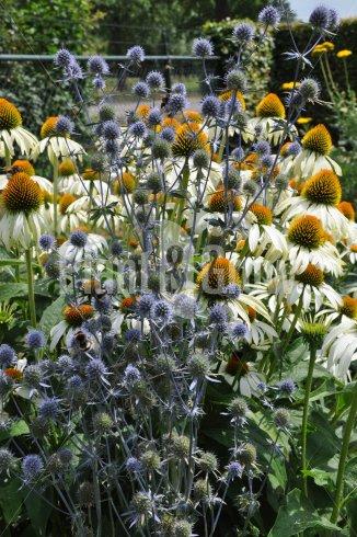 Eryngium planum | Kruisdistel samen met Echinacea purpurea 'Alba'