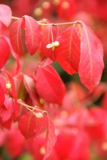Euonymus alatus | Kardinaalshoed vrucht