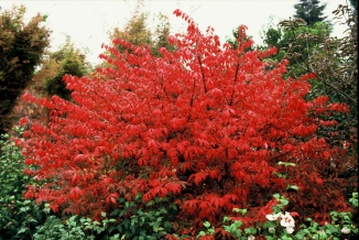 Euonymus alatus | Kardinaalshoed met prachtige herfstverkleuring