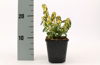Euonymus fortunei 'Blondy' | Kardinaalsmuts (pot 9x9cm)