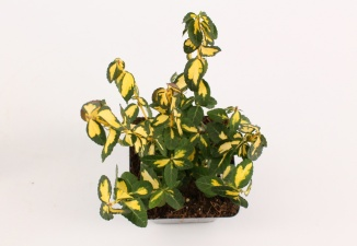 Euonymus fortunei 'Blondy' | Kardinaalsmuts (pot 9x9cm)