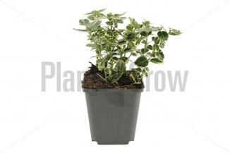 Euonymus fortunei 'Emerald Gaiety' | Bontbladige kardinaalsmuts (pot 9x9cm)