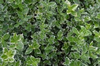 Euonymus fortunei 'Emerald Gaiety' | Bontbladige kardinaalsmuts