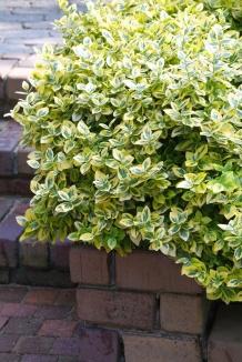 Euonymus fortunei 'Emerald'n Gold' | Bontbladige kardinaalsmuts