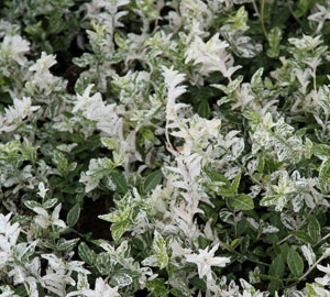 Euonymus fortunei 'Harlequin' Kardinaalsmuts