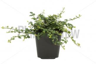 Euonymus fortunei 'Minimus' | Japanse kardinaalsmuts (pot 9x9cm) - VOORJAAR