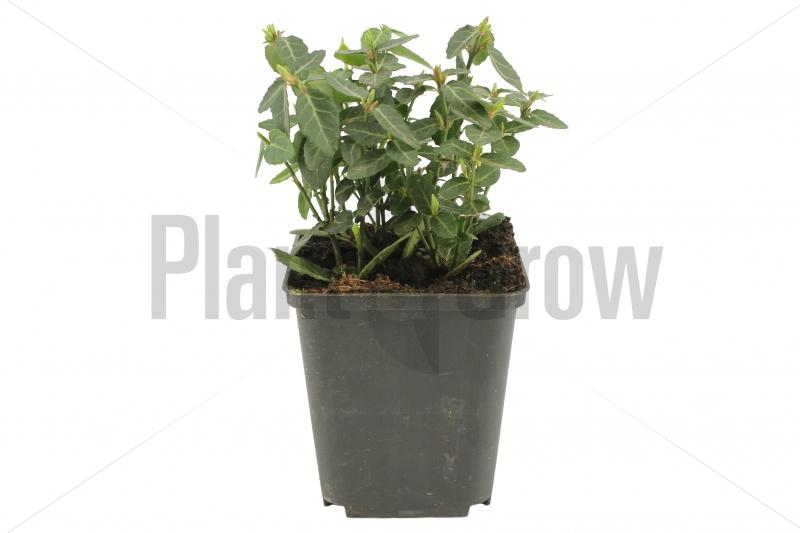 Euonymus fortunei radicans | Japanse kardinaalsmuts (pot 9x9cm)