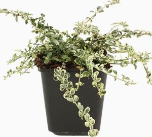 Euonymus fortunei 'Silver Carpet' Japanse kardinaalsmuts