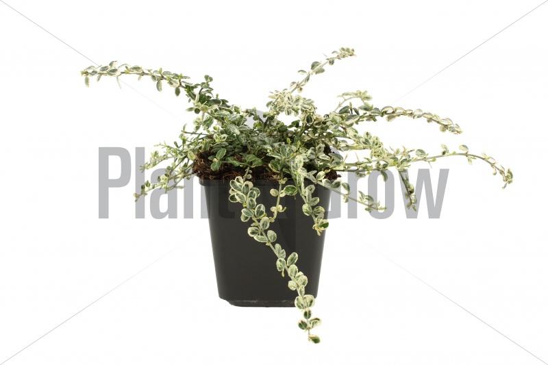 Euonymus fortunei 'Silver Carpet' | Japanse kardinaalsmuts (pot 9x9cm)