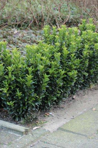 Euonymus japonicus 'Green Spire' | Japanse Kardinaalsmuts