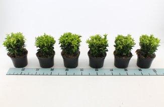 Euonymus japonicus 'Green Spire' | Japanse Kardinaalsmuts(P13 pot)