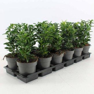 Euonymus japonicus 'Green Spire' | Japanse Kardinaalsmuts (P9 pot)
