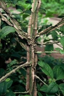 Euonymus phellomanus | Kardinaalsmuts