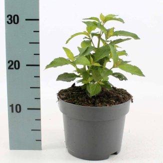 Eupatorium maculatum 'Atropurpureum' | Koninginnekruid (Ø 17cm pot)