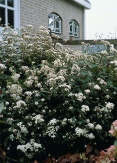 Eupatorium rugosum 'Chocolate' | Koninginnekruid