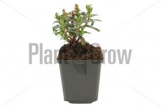 Euphorbia amygdaloides 'Purpurea' | Amandelwolfsmelk (pot 9x9cm) - VOORJAAR