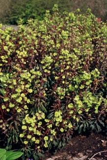 Euphorbia amygdaloides 'Purpurea' | Amandelwolfsmelk
