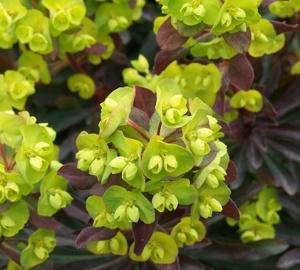 Euphorbia amygdaloides 'Purpurea' Amandelwolfsmelk